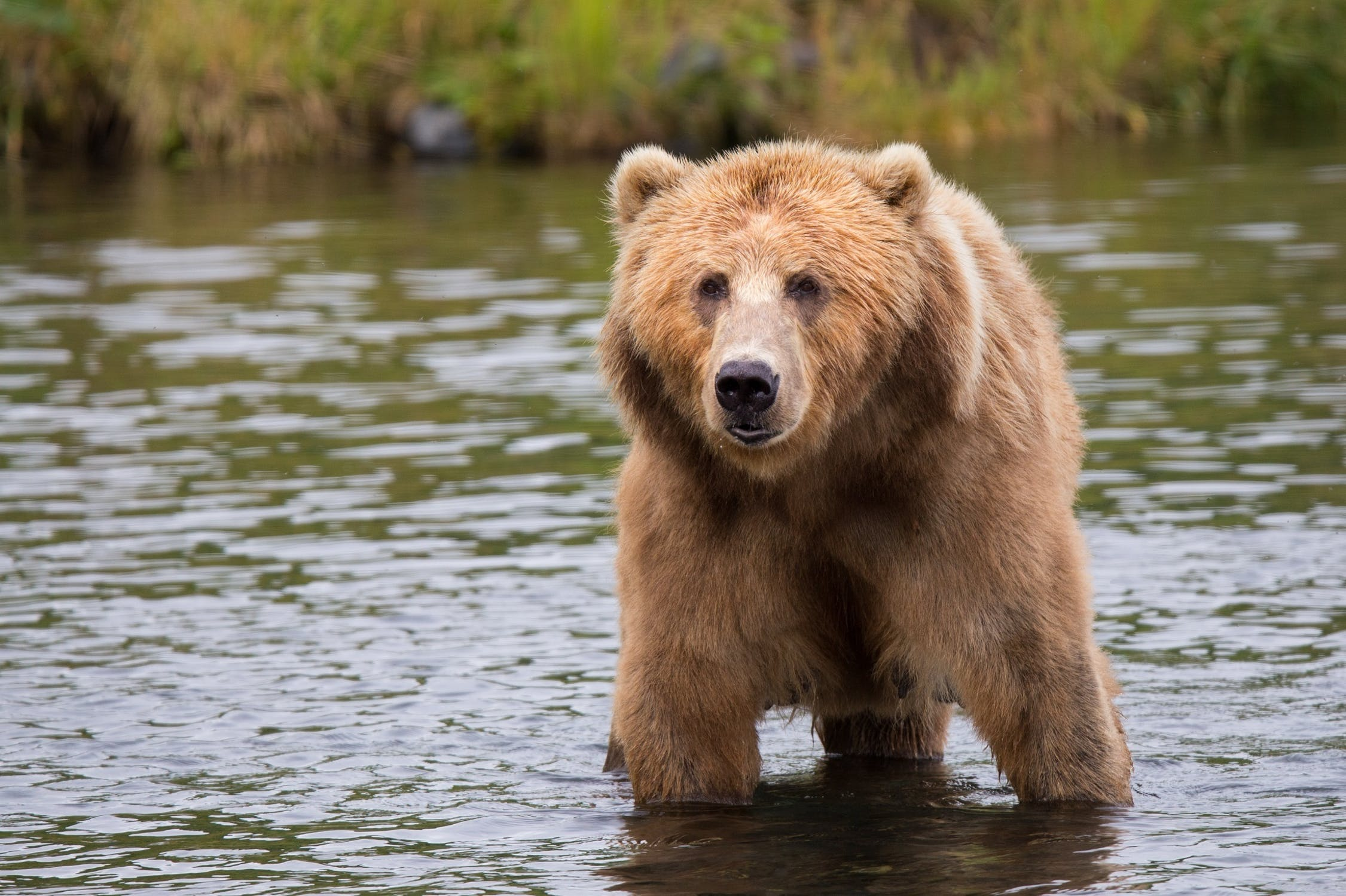 Covid – 19: You can't outrun a bear!